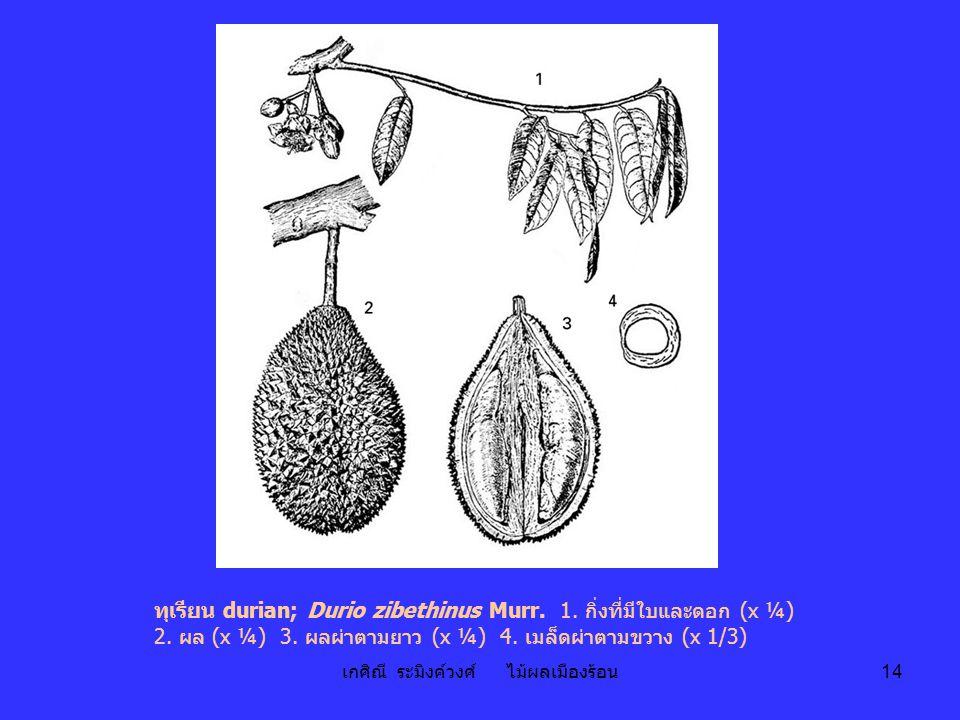 เกศิณี ระมิงค์วงศ์ ไม้ผลเมืองร้อน 14 ทุเรียน durian; Durio zibethinus Murr. 1. กิ่งที่มีใบและดอก (x ¼) 2. ผล (x ¼) 3. ผลผ่าตามยาว (x ¼) 4. เมล็ดผ่าตาม