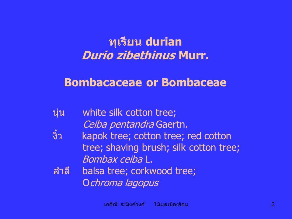 เกศิณี ระมิงค์วงศ์ ไม้ผลเมืองร้อน 2 ทุเรียน durian Durio zibethinus Murr. Bombacaceae or Bombaceae นุ่น white silk cotton tree; Ceiba pentandra Gaertn