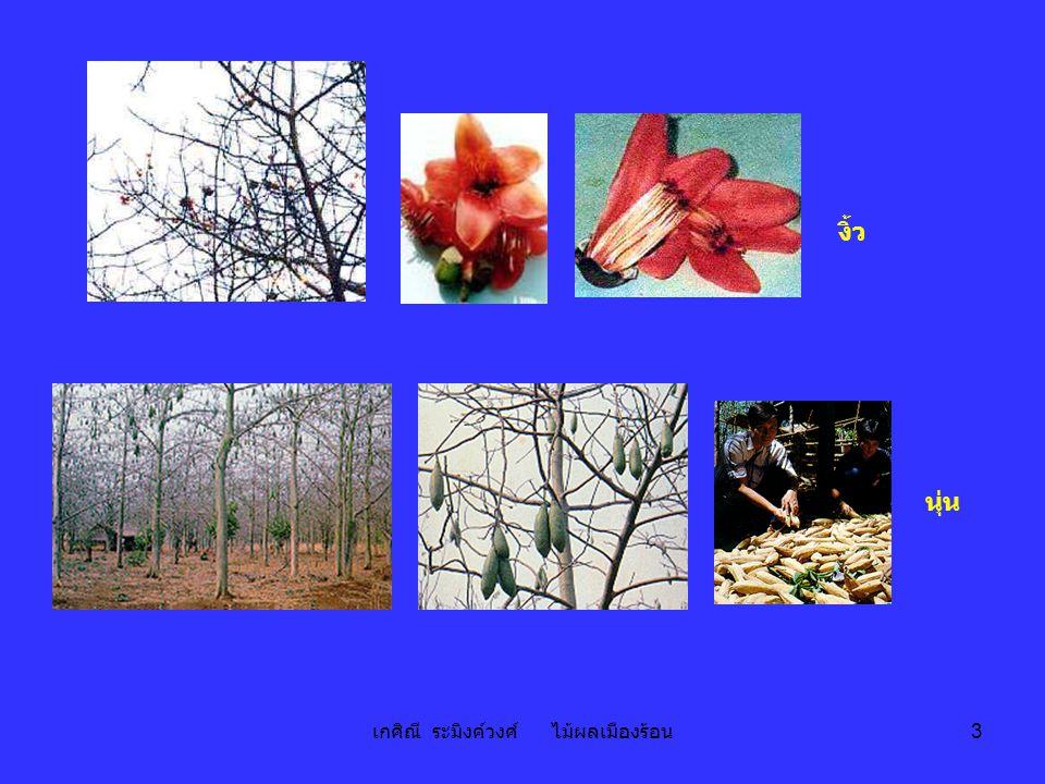 เกศิณี ระมิงค์วงศ์ ไม้ผลเมืองร้อน 54 Precocity - air-layering - early 4-6 yrs เช่น กระดุมทอง ลวง ชมพูศรี - medium 6-8 yrs เช่น กบต่างๆ ก้านยาว ฉัตรสีนาก - late > 8 yrs เช่น กำปั่น อีหนัก
