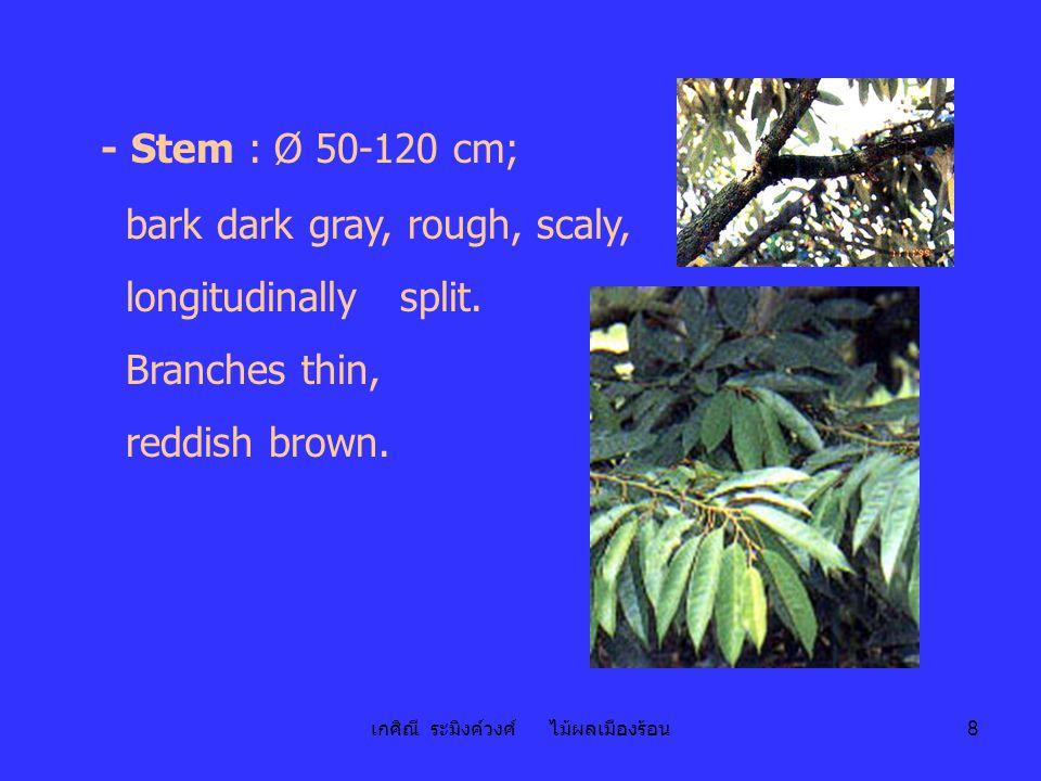 เกศิณี ระมิงค์วงศ์ ไม้ผลเมืองร้อน 8 - Stem : Ø 50-120 cm; bark dark gray, rough, scaly, longitudinally split. Branches thin, reddish brown.