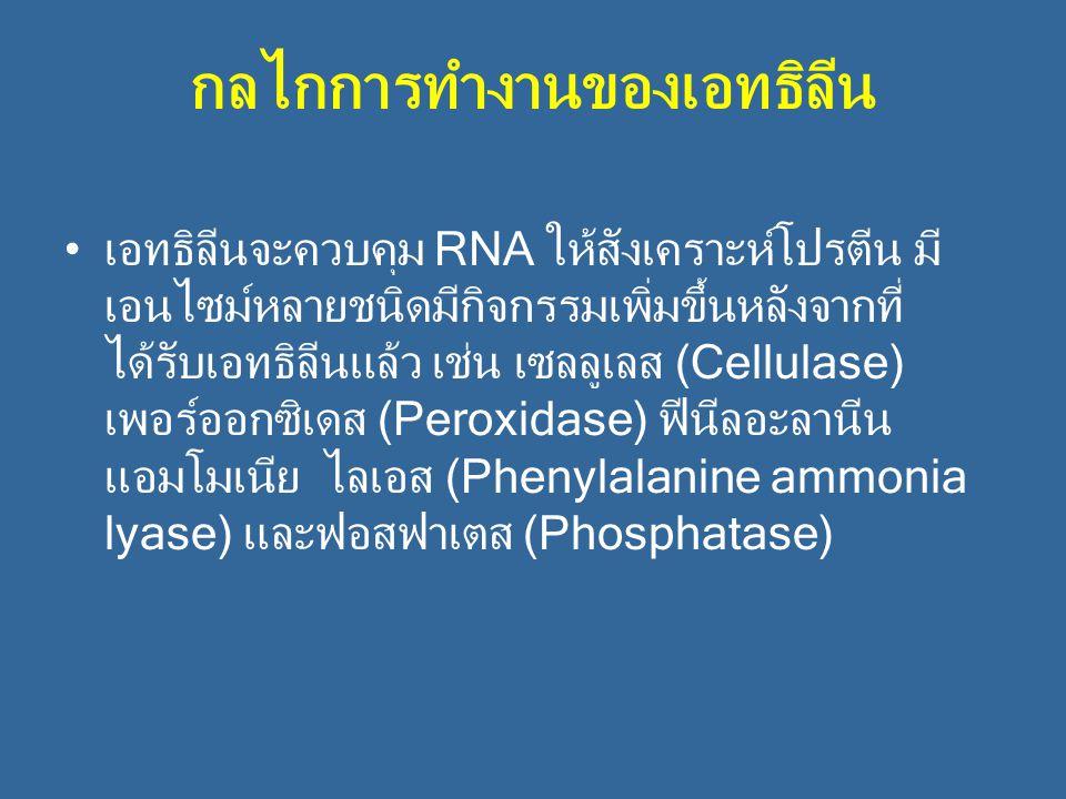 กลไกการทำงานของเอทธิลีน เอทธิลีนจะควบคุม RNA ให้สังเคราะห์โปรตีน มี เอนไซม์หลายชนิดมีกิจกรรมเพิ่มขึ้นหลังจากที่ ได้รับเอทธิลีนแล้ว เช่น เซลลูเลส (Cell
