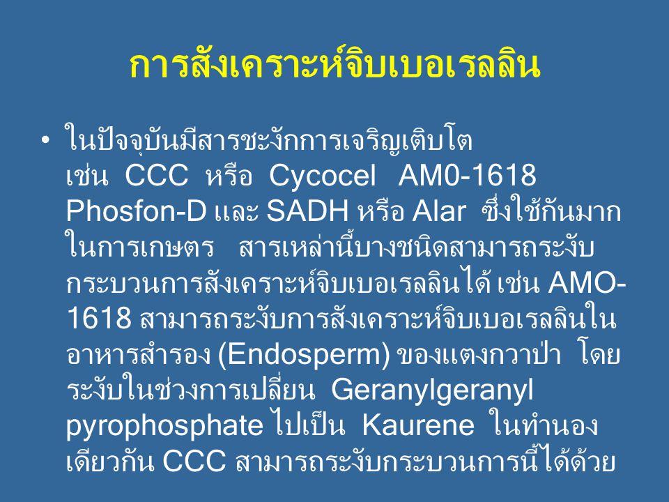การสังเคราะห์จิบเบอเรลลิน ในปัจจุบันมีสารชะงักการเจริญเติบโต เช่น CCC หรือ Cycocel AM0-1618 Phosfon-D และ SADH หรือ Alar ซึ่งใช้กันมาก ในการเกษตร สารเ