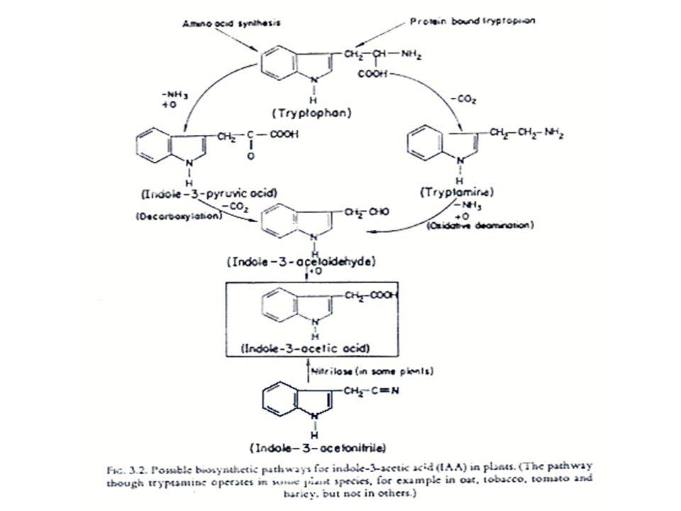 การสังเคราะห์ออกซิน การศึกษาเรื่องการสังเคราะห์ออกซินมักศึกษาจาก เนื้อเยื่อปลายรากหรือปลายยอด และพบว่า IAA นี้ สังเคราะห์ได้ทั้งในส่วนไซโตซอล (Cytosol) ไมโต- คอนเดรีย และคลอโรพลาสต์ ในการศึกษาในปัจจุบัน พบว่า Phenylacetic acid หรือ PAA มี คุณสมบัติของออกซินด้วยและสามารถสังเคราะห์ได้ จาก L-Phenylalanine โดยพบในคลอโรพลาสต์ และไมโตคอนเดรียของทานตะวัน