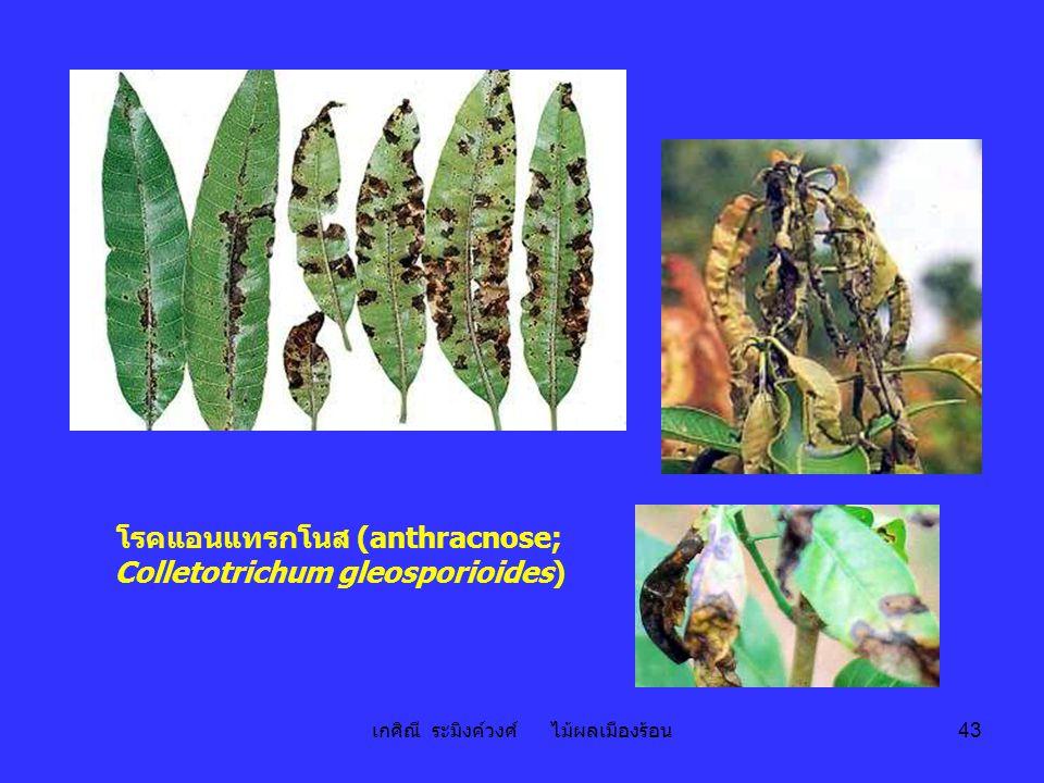 เกศิณี ระมิงค์วงศ์ ไม้ผลเมืองร้อน 43 โรคแอนแทรกโนส (anthracnose; Colletotrichum gleosporioides)