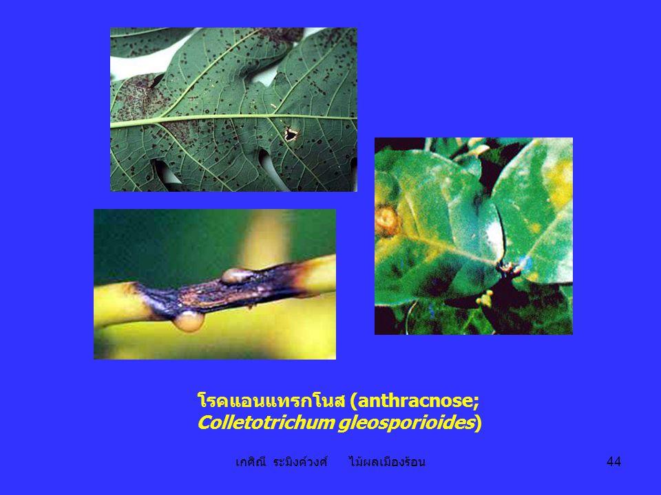 เกศิณี ระมิงค์วงศ์ ไม้ผลเมืองร้อน 44 โรคแอนแทรกโนส (anthracnose; Colletotrichum gleosporioides)