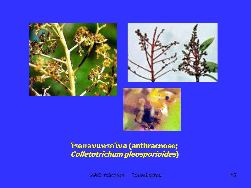 เกศิณี ระมิงค์วงศ์ ไม้ผลเมืองร้อน 45 โรคแอนแทรกโนส (anthracnose; Colletotrichum gleosporioides)