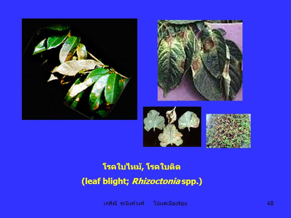 เกศิณี ระมิงค์วงศ์ ไม้ผลเมืองร้อน 48 โรคใบไหม้, โรคใบติด (leaf blight; Rhizoctonia spp.)
