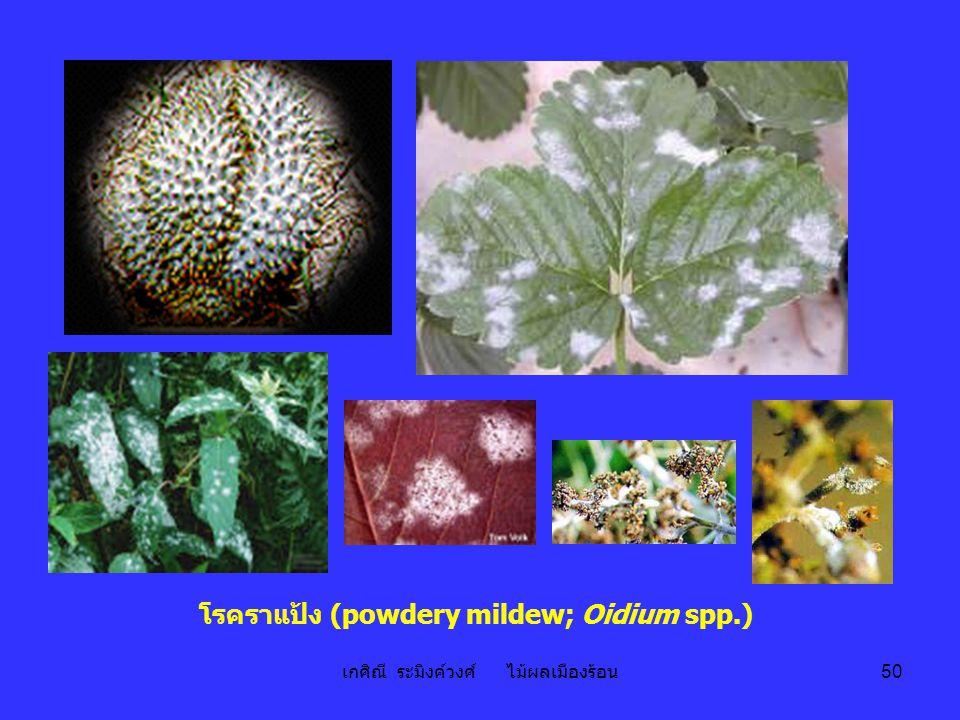 เกศิณี ระมิงค์วงศ์ ไม้ผลเมืองร้อน 50 โรคราแป้ง (powdery mildew; Oidium spp.)