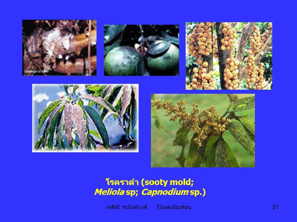 เกศิณี ระมิงค์วงศ์ ไม้ผลเมืองร้อน 51 โรคราดำ (sooty mold; Meliola sp; Capnodium sp.)