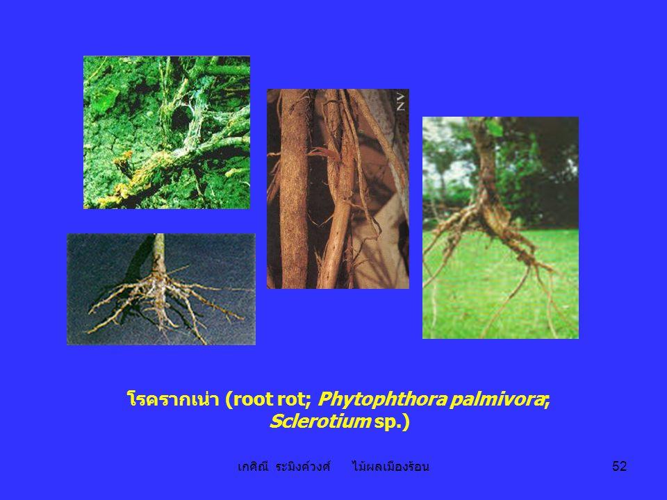 เกศิณี ระมิงค์วงศ์ ไม้ผลเมืองร้อน 52 โรครากเน่า (root rot; Phytophthora palmivora; Sclerotium sp.)
