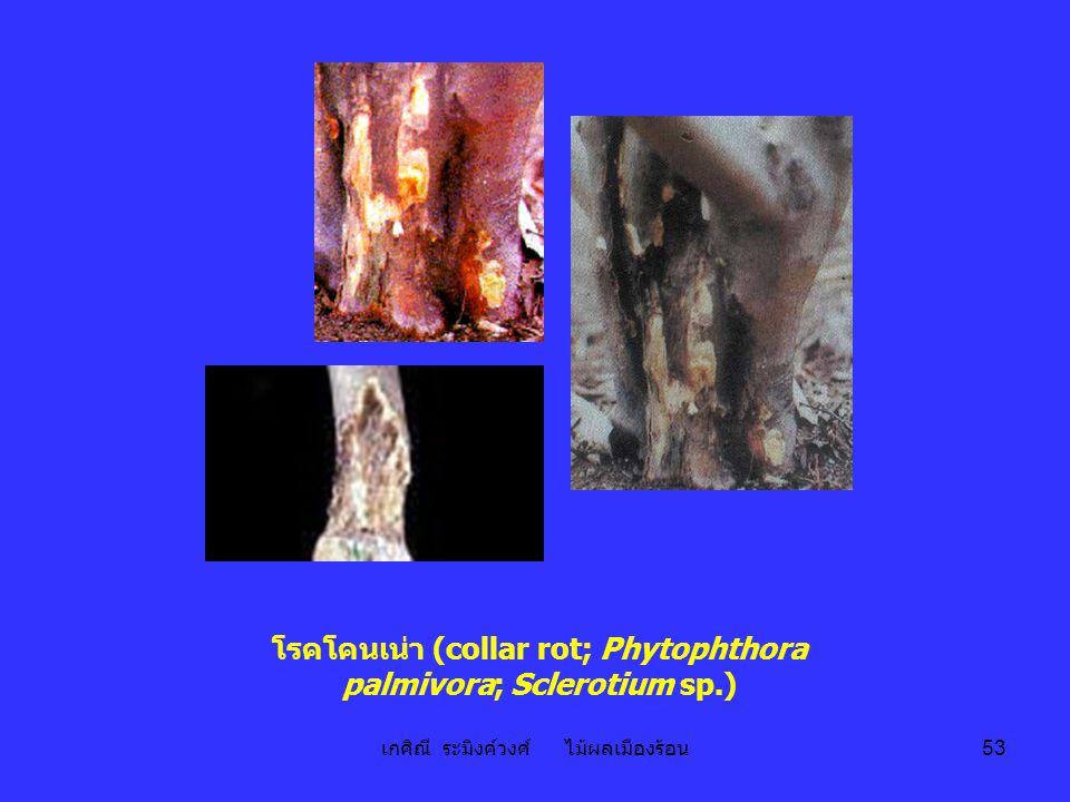 เกศิณี ระมิงค์วงศ์ ไม้ผลเมืองร้อน 53 โรคโคนเน่า (collar rot; Phytophthora palmivora; Sclerotium sp.)