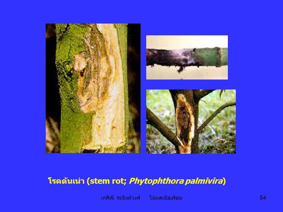 เกศิณี ระมิงค์วงศ์ ไม้ผลเมืองร้อน 54 โรคต้นเน่า (stem rot; Phytophthora palmivira)