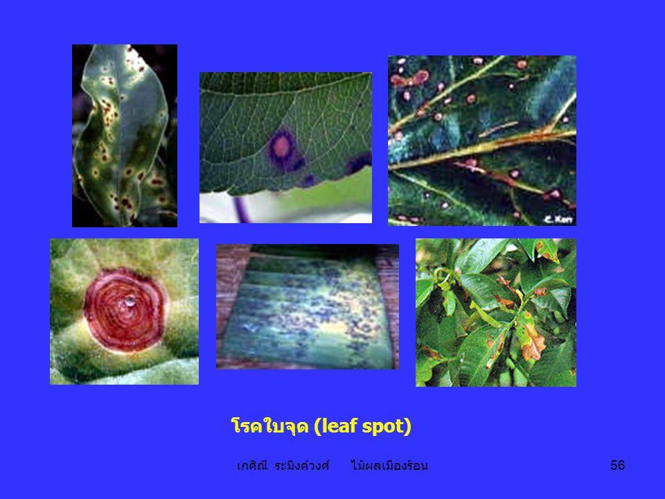 เกศิณี ระมิงค์วงศ์ ไม้ผลเมืองร้อน 56 โรคใบจุด (leaf spot)