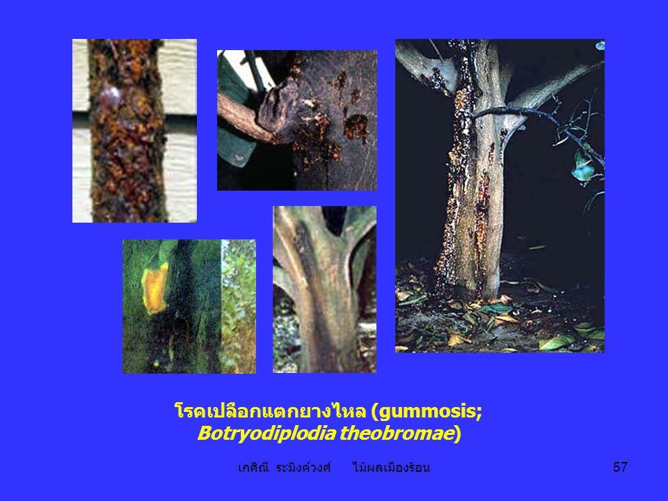 เกศิณี ระมิงค์วงศ์ ไม้ผลเมืองร้อน 57 โรคเปลือกแตกยางไหล (gummosis; Botryodiplodia theobromae)