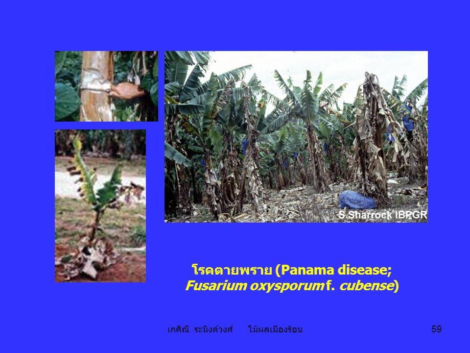 เกศิณี ระมิงค์วงศ์ ไม้ผลเมืองร้อน 59 โรคตายพราย (Panama disease; Fusarium oxysporum f. cubense)