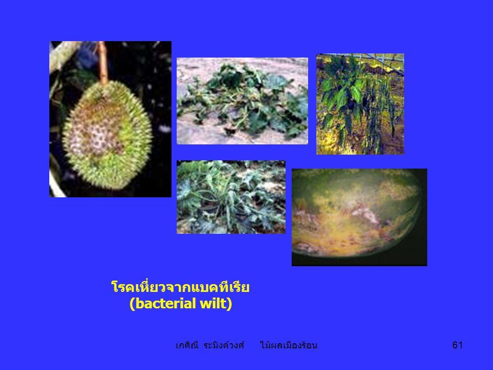 เกศิณี ระมิงค์วงศ์ ไม้ผลเมืองร้อน 61 โรคเหี่ยวจากแบคทีเรีย (bacterial wilt)