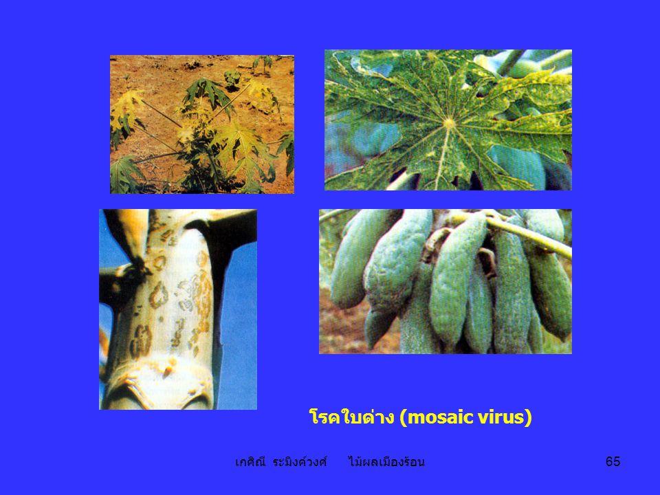 เกศิณี ระมิงค์วงศ์ ไม้ผลเมืองร้อน 65 โรคใบด่าง (mosaic virus)
