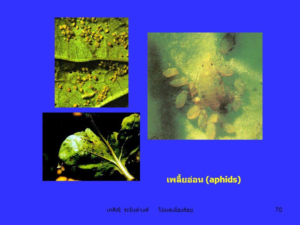 เกศิณี ระมิงค์วงศ์ ไม้ผลเมืองร้อน 70 เพลี้ยอ่อน (aphids)