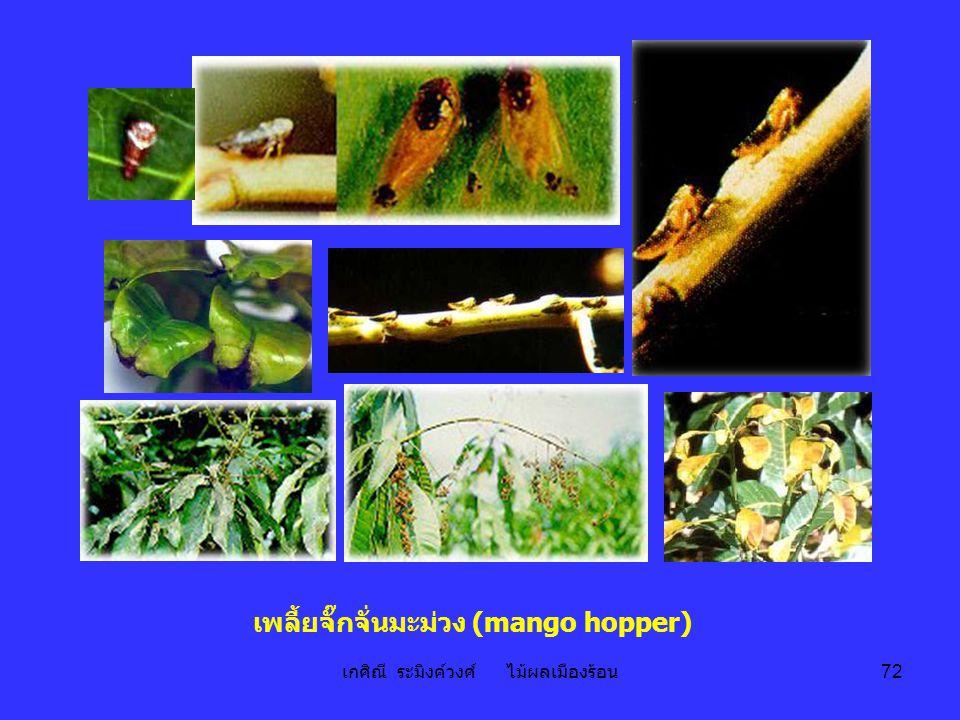 เกศิณี ระมิงค์วงศ์ ไม้ผลเมืองร้อน 72 เพลี้ยจั๊กจั่นมะม่วง (mango hopper)