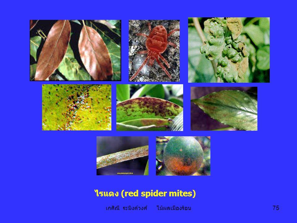 เกศิณี ระมิงค์วงศ์ ไม้ผลเมืองร้อน 75 ไรแดง (red spider mites)