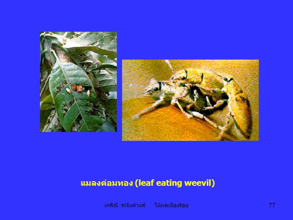 เกศิณี ระมิงค์วงศ์ ไม้ผลเมืองร้อน 77 แมลงค่อมทอง (leaf eating weevil)