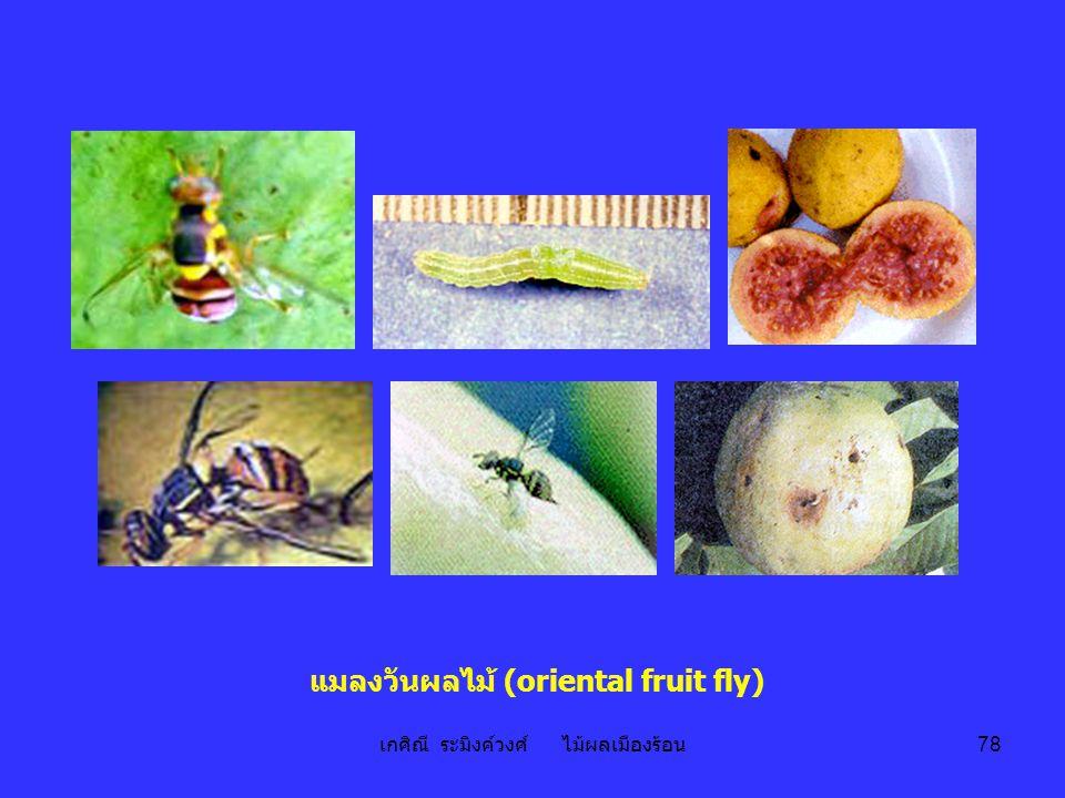 เกศิณี ระมิงค์วงศ์ ไม้ผลเมืองร้อน 78 แมลงวันผลไม้ (oriental fruit fly)