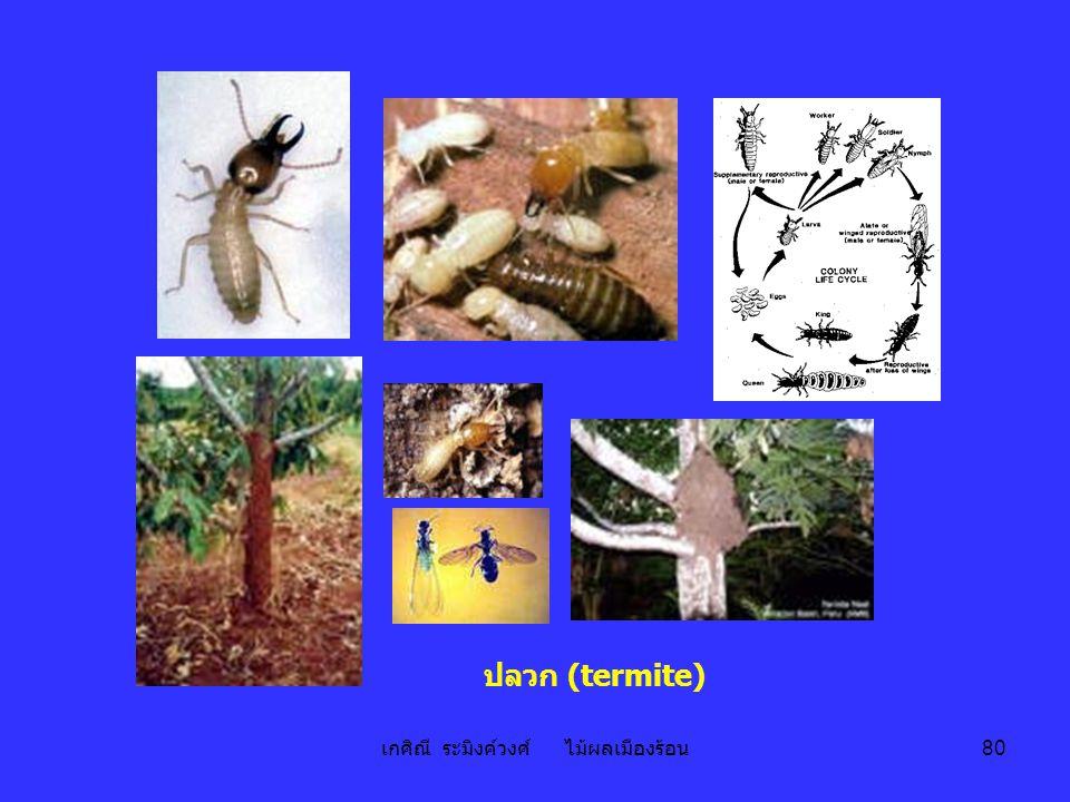 เกศิณี ระมิงค์วงศ์ ไม้ผลเมืองร้อน 80 ปลวก (termite)