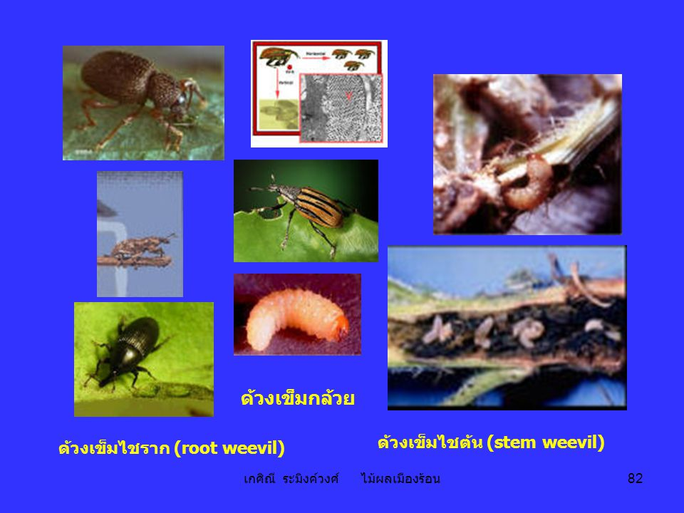 เกศิณี ระมิงค์วงศ์ ไม้ผลเมืองร้อน 82 ด้วงเข็มกล้วย ด้วงเข็มไชราก (root weevil) ด้วงเข็มไชต้น (stem weevil)