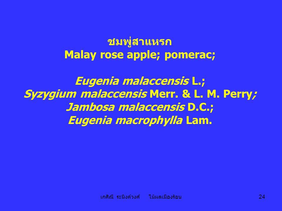เกศิณี ระมิงค์วงศ์ ไม้ผลเมืองร้อน 24 ชมพู่สาแหรก Malay rose apple; pomerac; Eugenia malaccensis L.; Syzygium malaccensis Merr. & L. M. Perry; Jambosa