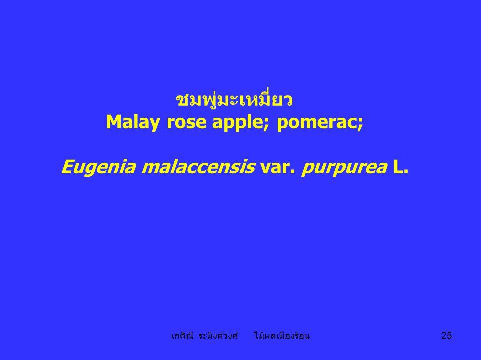 เกศิณี ระมิงค์วงศ์ ไม้ผลเมืองร้อน 25 ชมพู่มะเหมี่ยว Malay rose apple; pomerac; Eugenia malaccensis var. purpurea L.