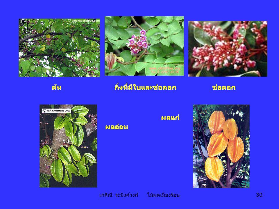เกศิณี ระมิงค์วงศ์ ไม้ผลเมืองร้อน 30 ต้นกิ่งที่มีใบและช่อดอกช่อดอก ผลอ่อน ผลแก่