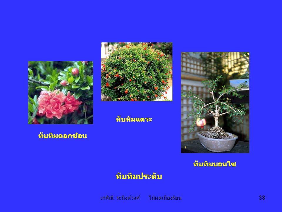 เกศิณี ระมิงค์วงศ์ ไม้ผลเมืองร้อน 38 ทับทิมบอนไซ ทับทิมประดับ ทับทิมแคระ ทับทิมดอกซ้อน