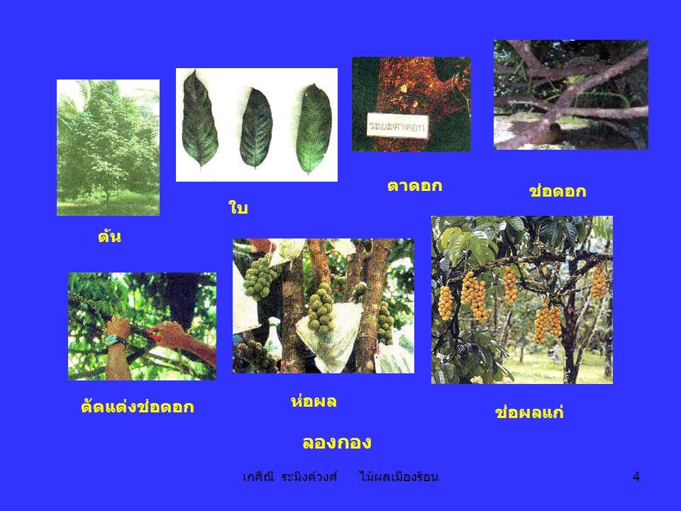 เกศิณี ระมิงค์วงศ์ ไม้ผลเมืองร้อน 4 ต้น ใบ ช่อดอก ตาดอก ตัดแต่งช่อดอก ช่อผลแก่ ห่อผล ลองกอง