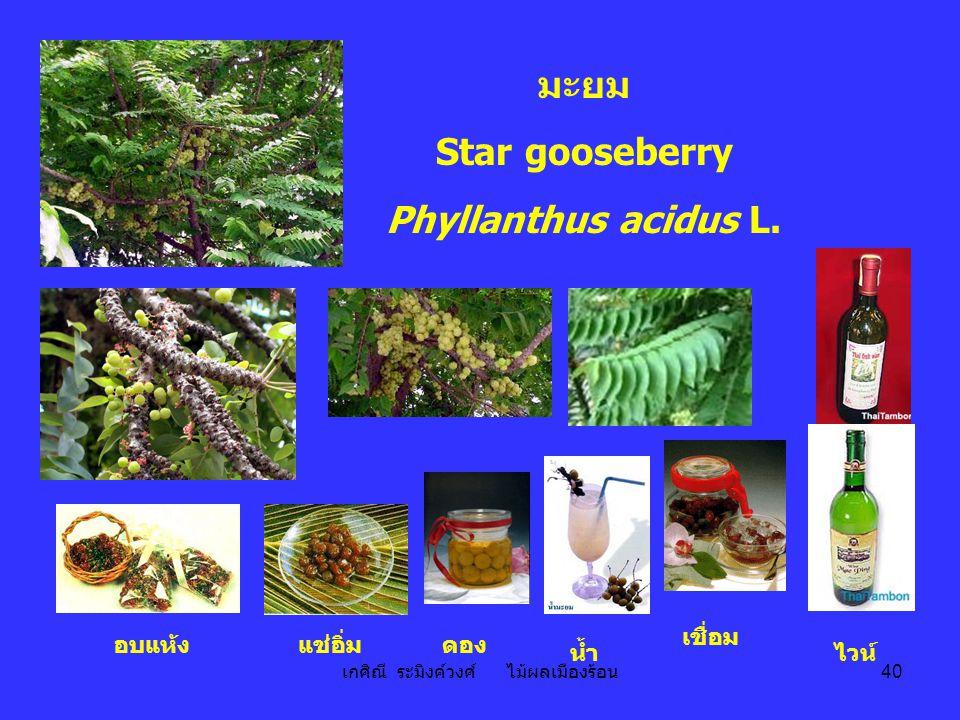 เกศิณี ระมิงค์วงศ์ ไม้ผลเมืองร้อน 40 อบแห้งแช่อิ่ม เชื่อม ไวน์ ดอง น้ำ มะยม Star gooseberry Phyllanthus acidus L.