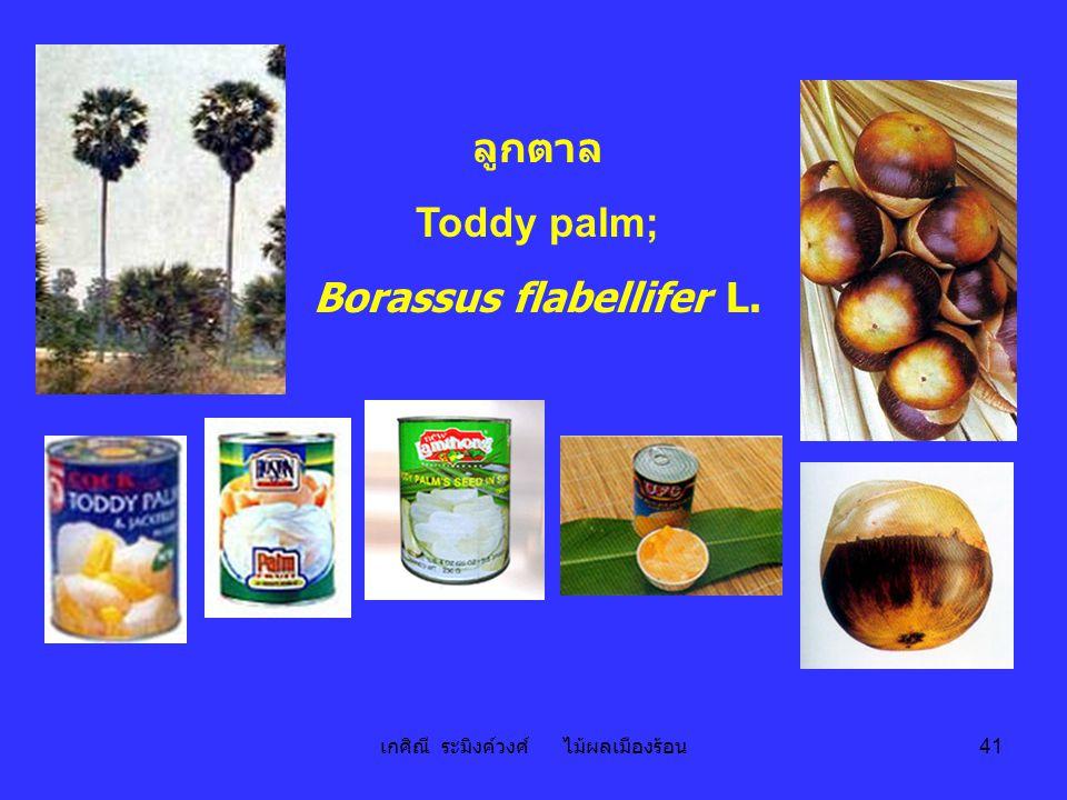 เกศิณี ระมิงค์วงศ์ ไม้ผลเมืองร้อน 41 ลูกตาล Toddy palm; Borassus flabellifer L.