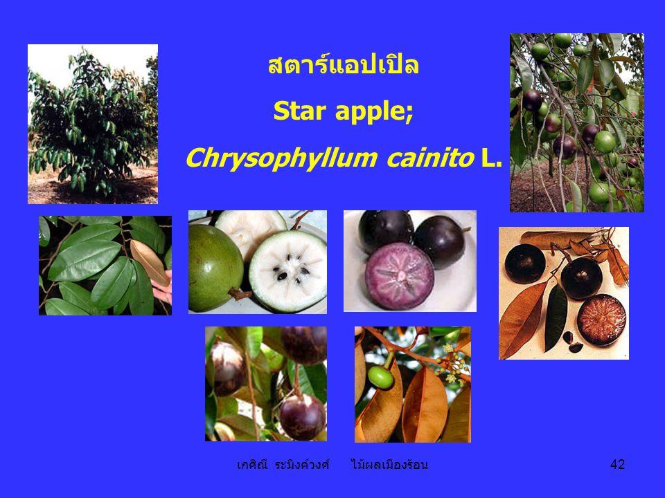 เกศิณี ระมิงค์วงศ์ ไม้ผลเมืองร้อน 42 สตาร์แอปเปิล Star apple; Chrysophyllum cainito L.
