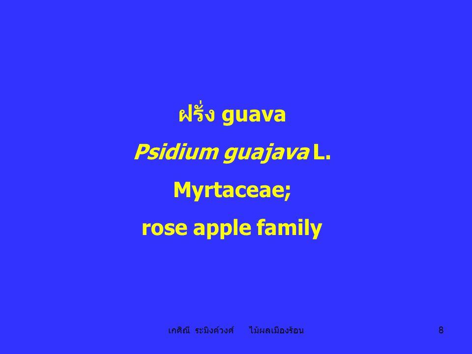 เกศิณี ระมิงค์วงศ์ ไม้ผลเมืองร้อน 29 มะเฟือง star fruit; carambola; Avorroa carambola L.; Avorroaceae; star fruit family