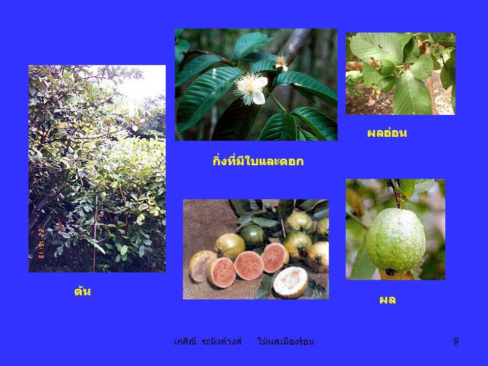 เกศิณี ระมิงค์วงศ์ ไม้ผลเมืองร้อน 9 ต้น กิ่งที่มีใบและดอก ผล ผลอ่อน