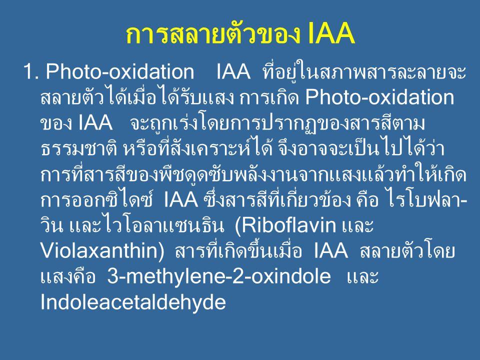 การสลายตัวของ IAA 1. Photo-oxidation IAA ที่อยู่ในสภาพสารละลายจะ สลายตัวได้เมื่อได้รับแสง การเกิด Photo-oxidation ของ IAA จะถูกเร่งโดยการปรากฏของสารสี