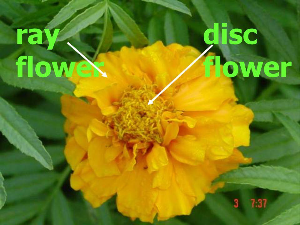 ray flower disc flower