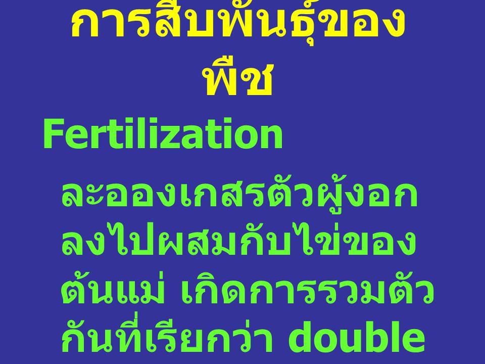 การสืบพันธุ์ของ พืช Fertilization ละอองเกสรตัวผู้งอก ลงไปผสมกับไข่ของ ต้นแม่ เกิดการรวมตัว กันที่เรียกว่า double fertilization