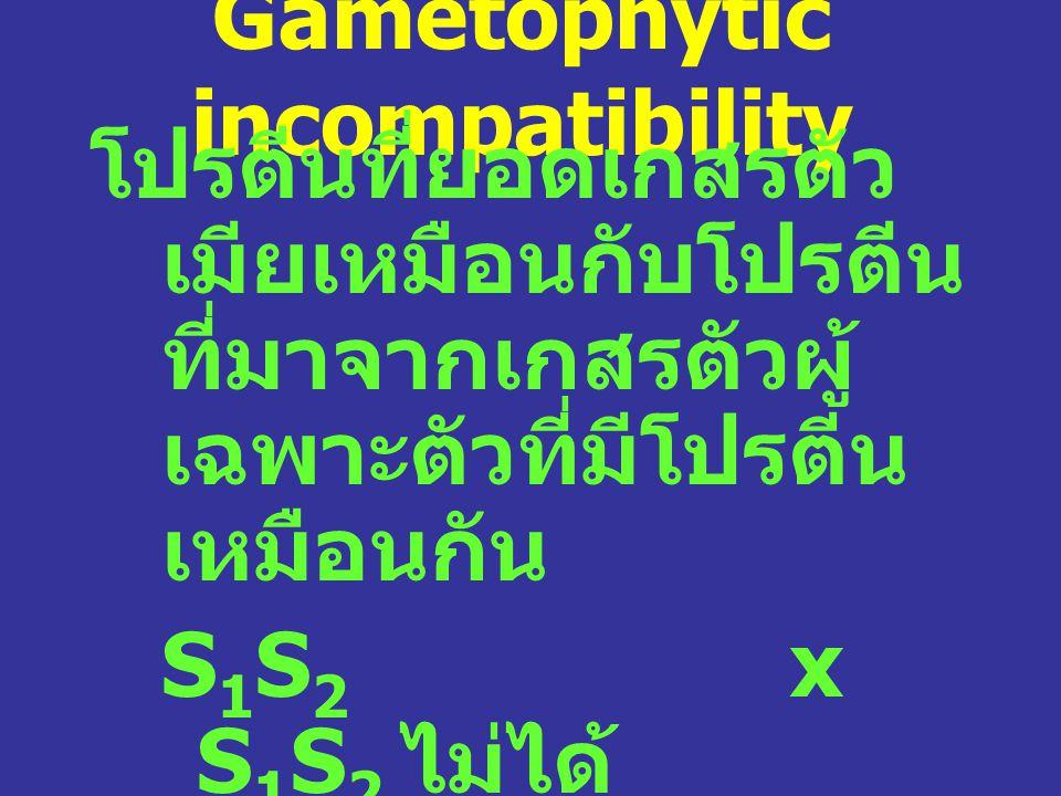 Gametophytic incompatibility โปรตีนที่ยอดเกสรตัว เมียเหมือนกับโปรตีน ที่มาจากเกสรตัวผู้ เฉพาะตัวที่มีโปรตีน เหมือนกัน S 1 S 2 x S 1 S 2 ไม่ได้ S 1 S 2 x S 2 S 3 ได้ ได้ S 1 S 3 เท่านั้น การ ทำงานเป็นอิสระ