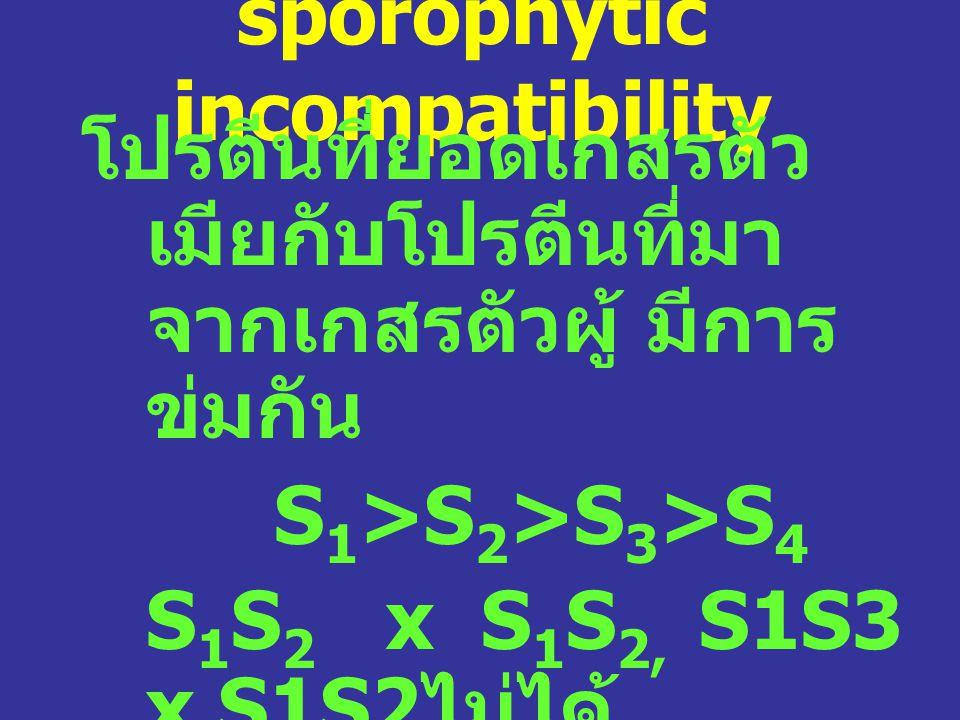 sporophytic incompatibility โปรตีนที่ยอดเกสรตัว เมียกับโปรตีนที่มา จากเกสรตัวผู้ มีการ ข่มกัน S 1 >S 2 >S 3 >S 4 S 1 S 2 x S 1 S 2, S1S3 x S1S2 ไม่ได้ S 2 S 3 x S 1 S 2 ได้ เพราะ S 1 ของต้นพ่อ สามารถข่ม S 2 และ S 3 ของต้นแม่ได้