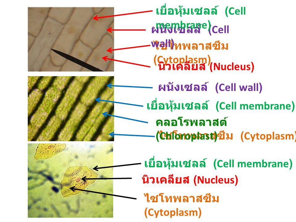ไซโทพลาสซึม (Cytoplasm) ผนังเซลล์ (Cell wall) นิวเคลียส (Nucleus) เยื่อหุ้มเซลล์ (Cell membrane) ผนังเซลล์ (Cell wall) ไซโทพลาสซึม (Cytoplasm) เยื่อหุ