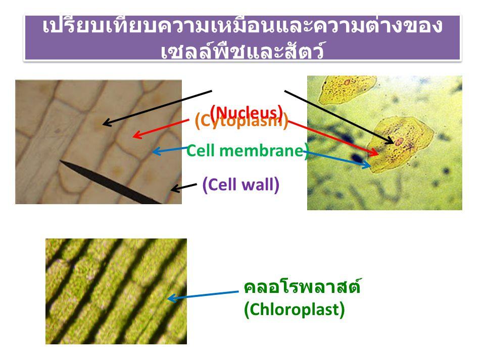เปรียบเทียบความเหมือนและความต่างของ เซลล์พืชและสัตว์ (Cell wall) (Cytoplasm) (Nucleus) Cell membrane) คลอโรพลาสต์ (Chloroplast)