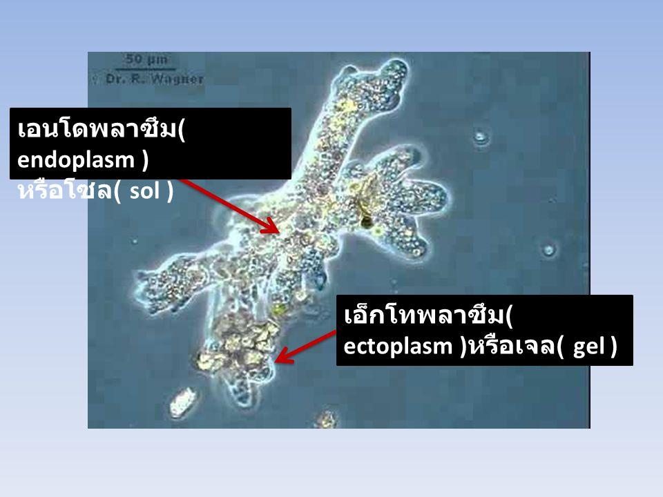 เอนโดพลาซึม ( endoplasm ) หรือโซล ( sol ) เอ็กโทพลาซึม ( ectoplasm ) หรือเจล ( gel )