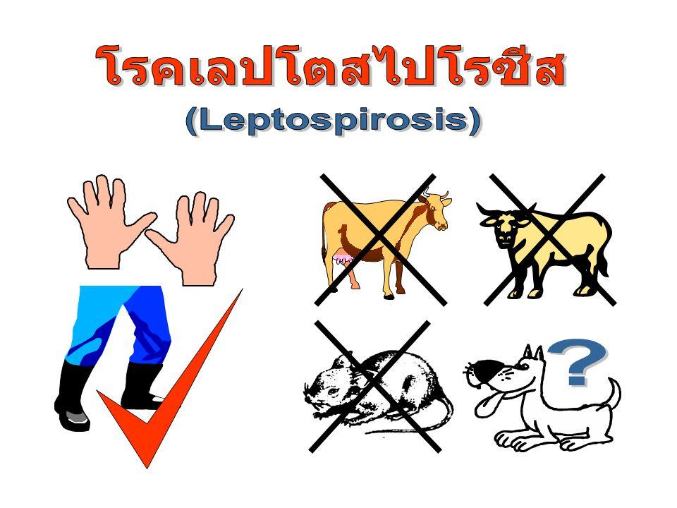 อัตราป่วย อันดับที่ 3 ของเขต 6 อันดับที่ 5 ของประเทศ อัตราป่วยโรค Leptospirosis พ.