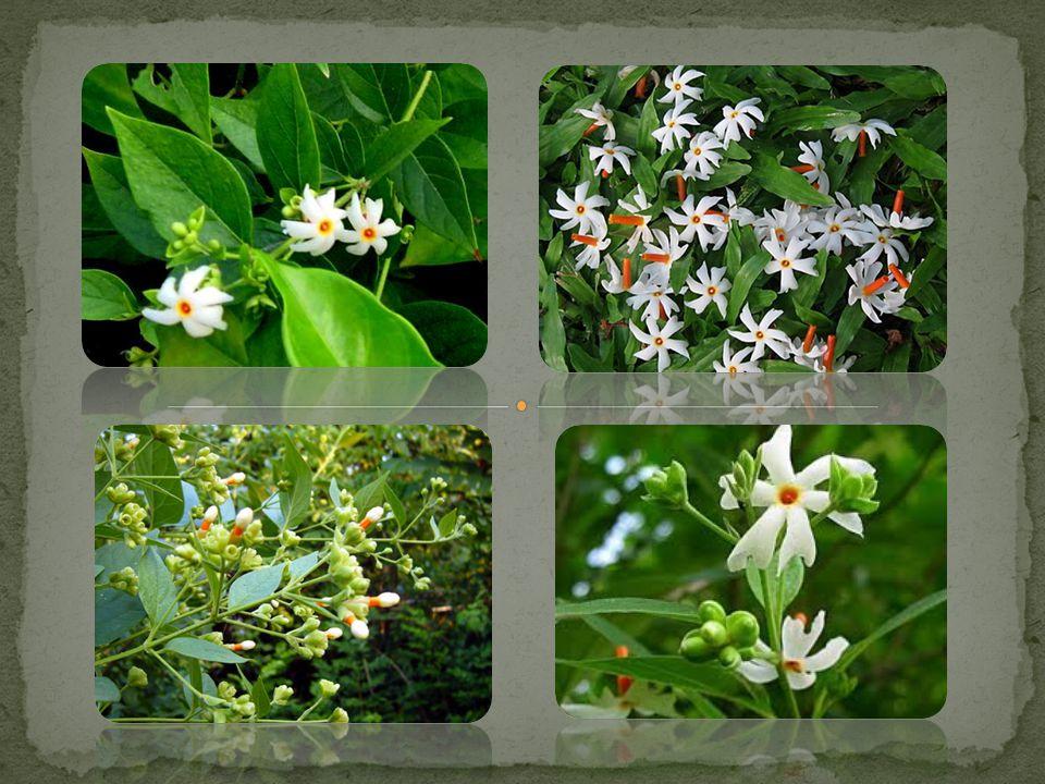 ถิ่นกำเนิดของดอกกรรณิการ์ หรือ ต้นกรรณิการ์ มาจากสี่ ประเทศคือ ประเทศไทย อินเดีย ลังกา พม่า Nyctanthes arbor- tristis L.