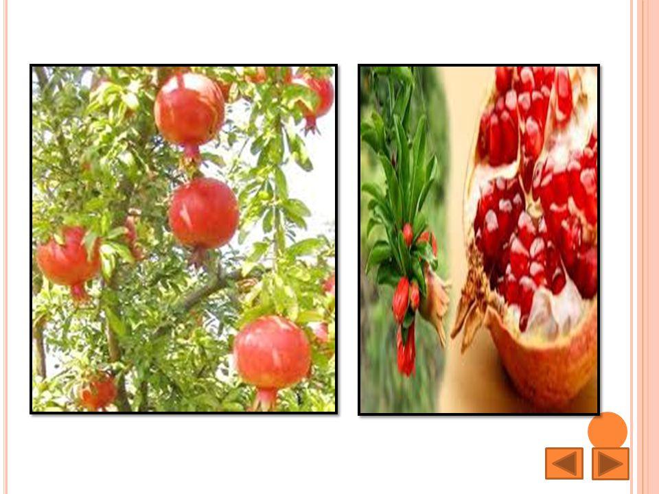 ทับทิม Pomegranate ชื่อวิทยาศาสตร์ : Punica granatum L.