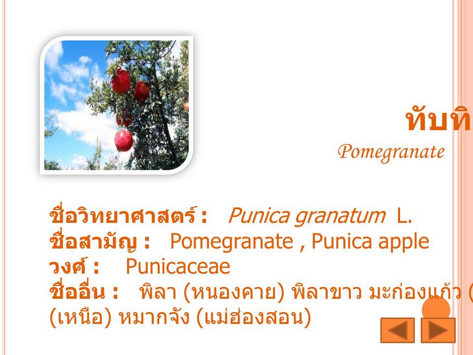 ทับทิม Pomegranate ชื่อวิทยาศาสตร์ : Punica granatum L. ชื่อสามัญ : Pomegranate, Punica apple วงศ์ : Punicaceae ชื่ออื่น : พิลา ( หนองคาย ) พิลาขาว มะ